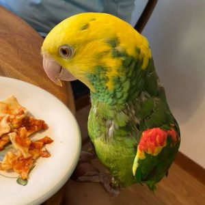 yellow faced parrot