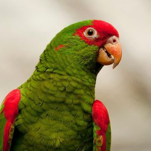 red spectacled amazon
