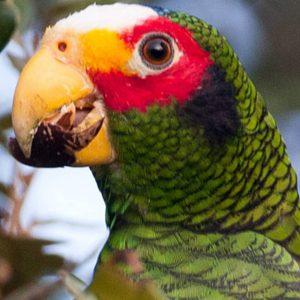 yucutan parrot for sale