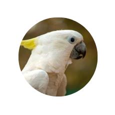 cockatoo parrot