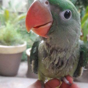 alexandrine parakeet for sale