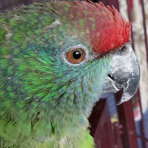 festive amazon parrot