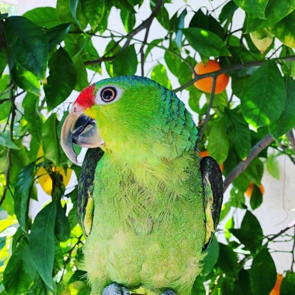 red lored amazon for sale