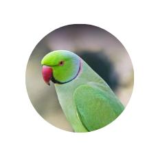 parakeet parrot