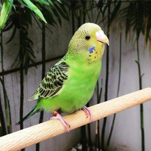 golden parakeet