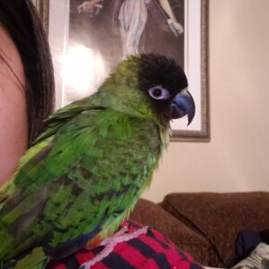 nanday conure for sale
