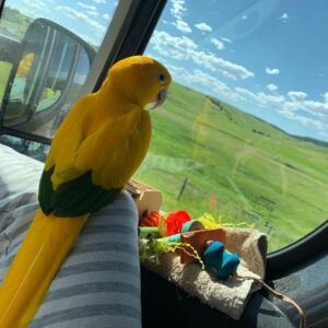 golden conure for sale